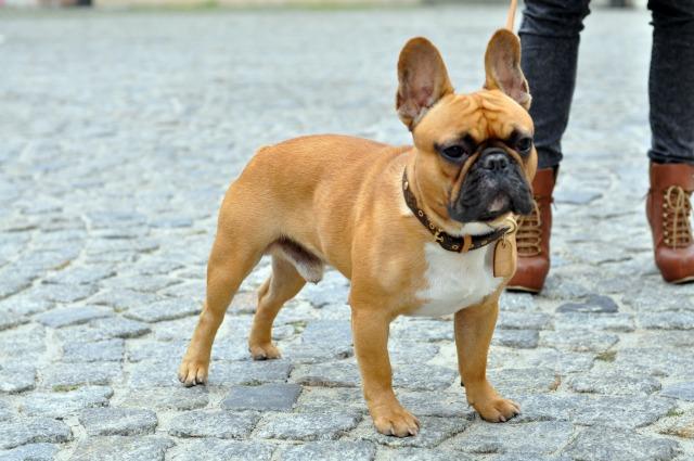 rambo the bulldog