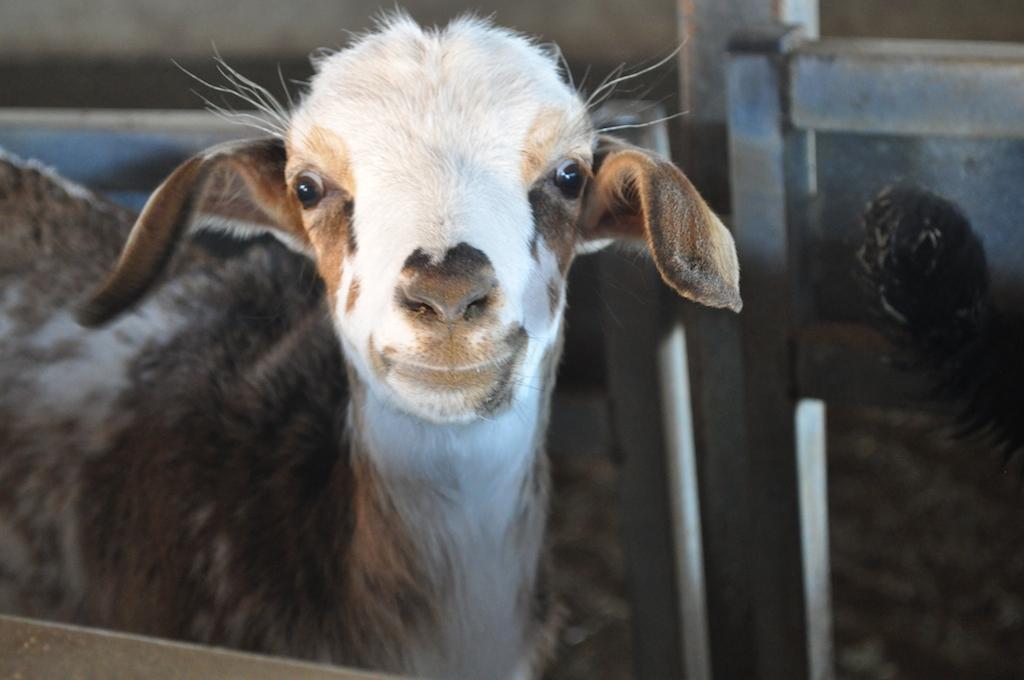 farma kóz fuerteventura