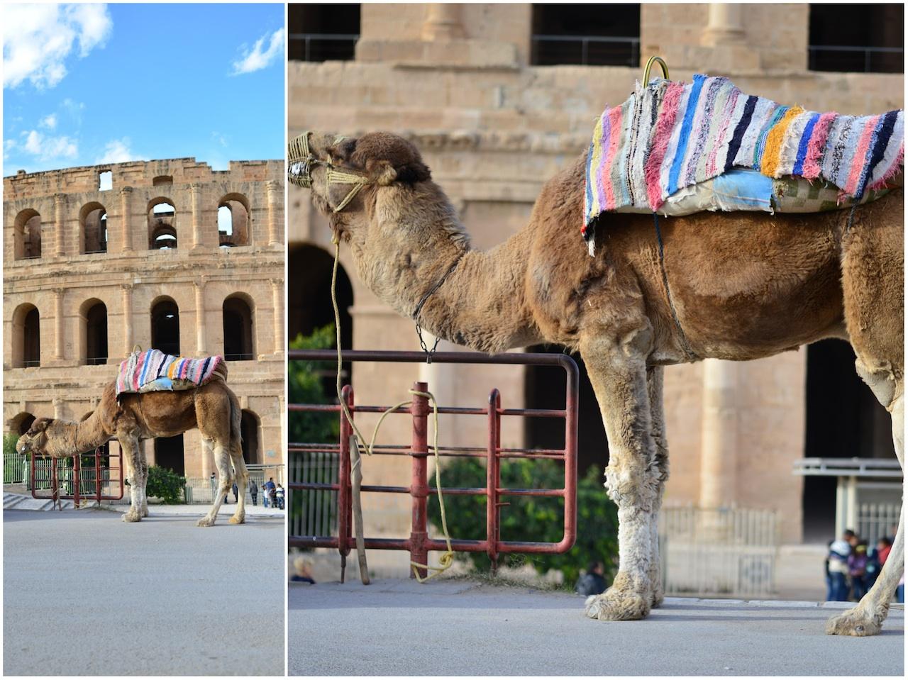 wielbłądy tunezja