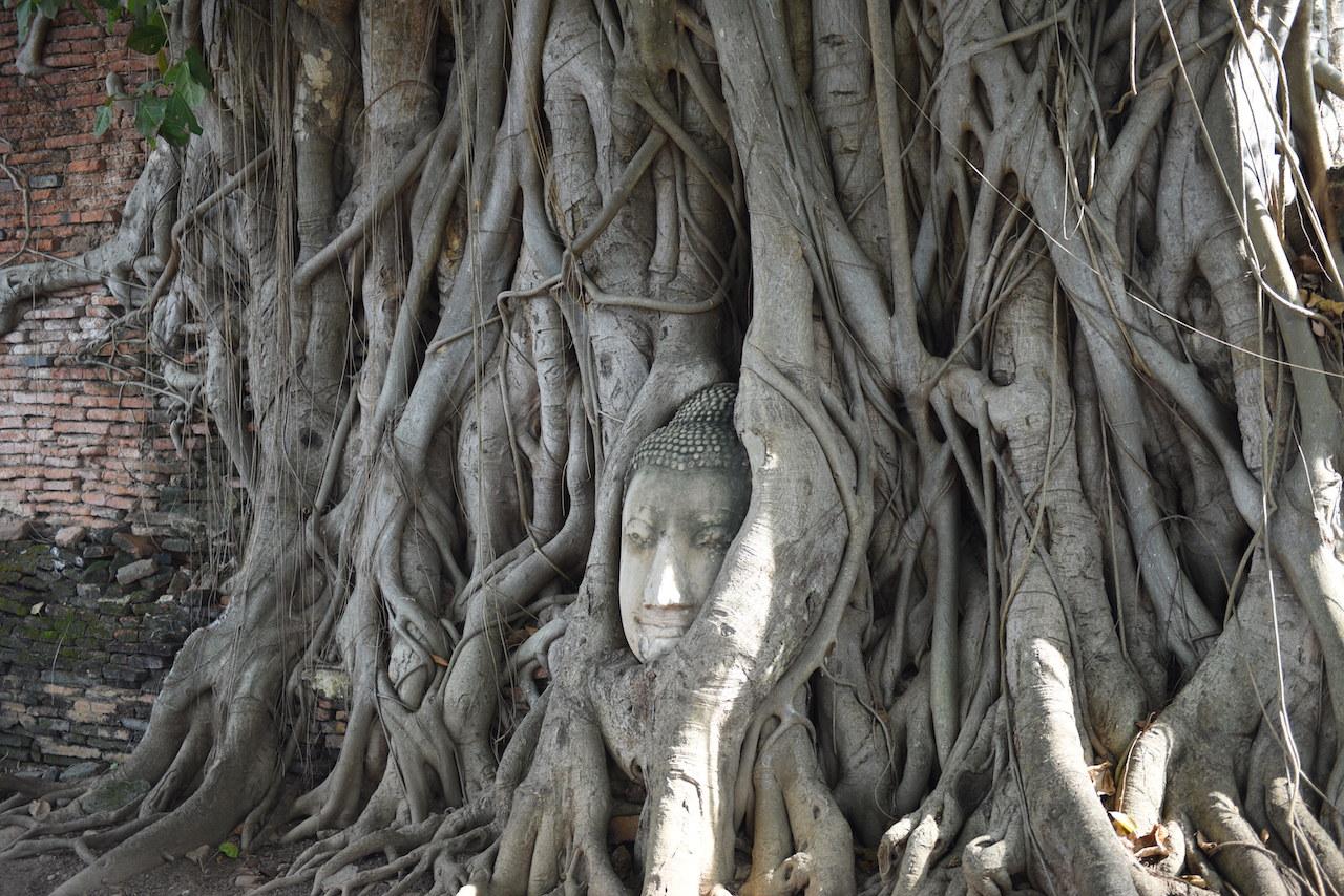 Głowa posągu Buddy uwięziona w drzewie