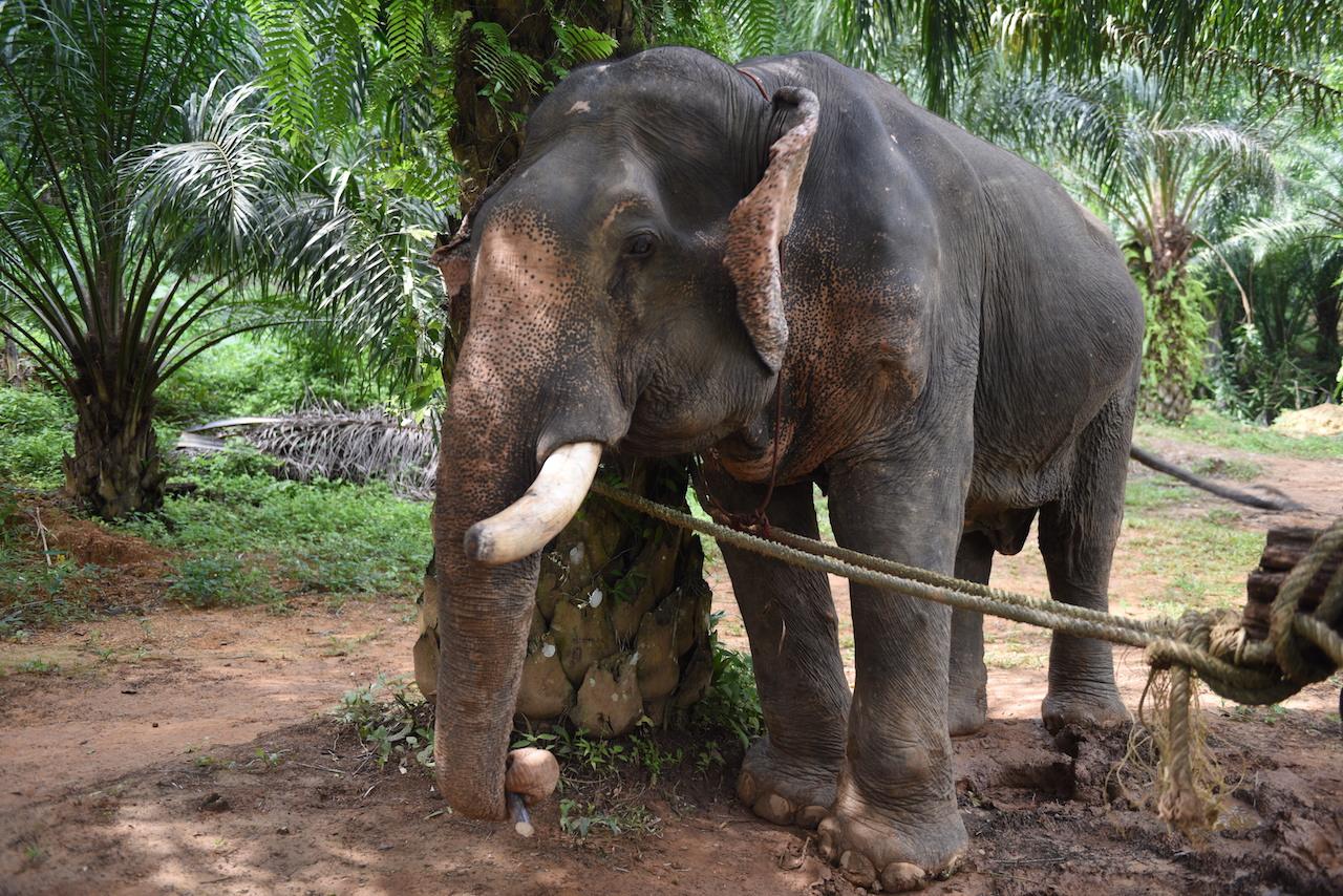 samboon-slonik