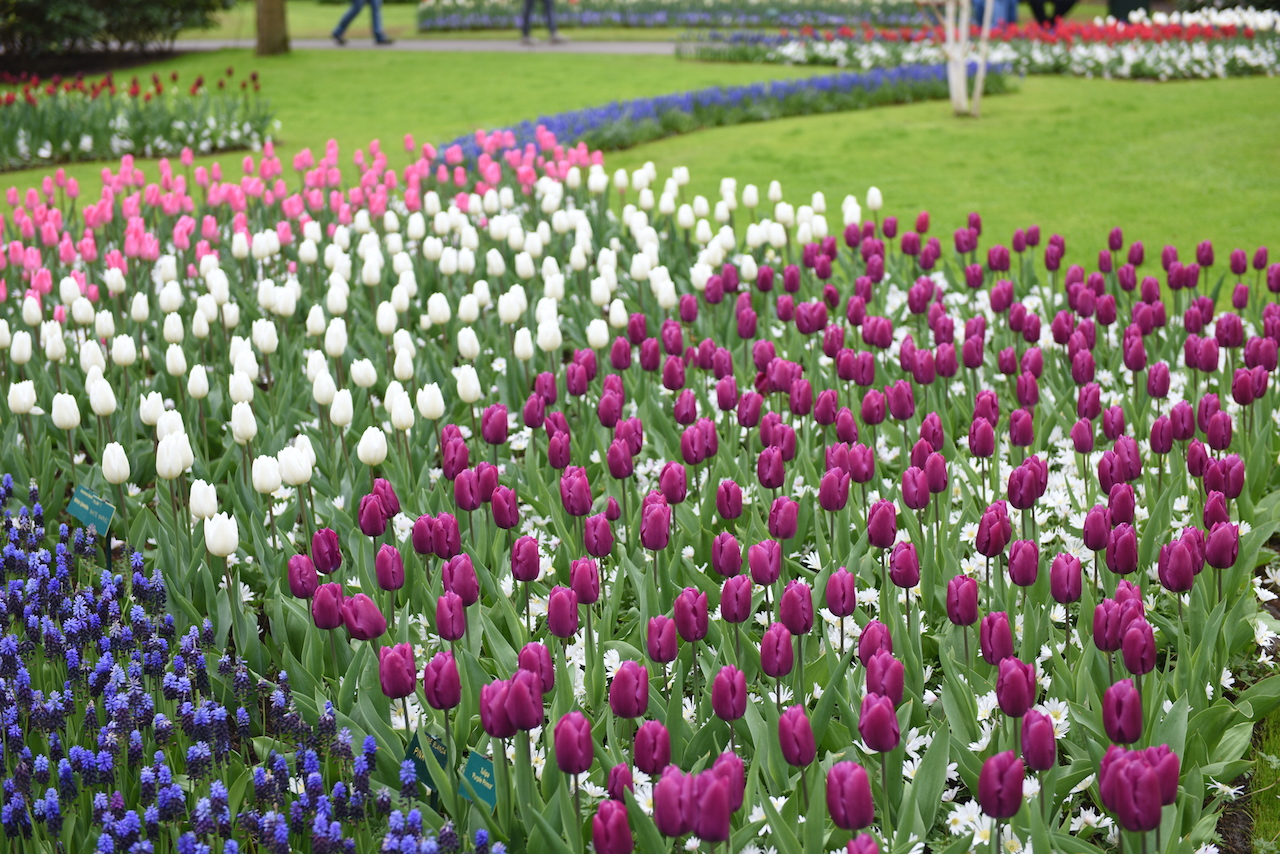 tulipany fioletowe