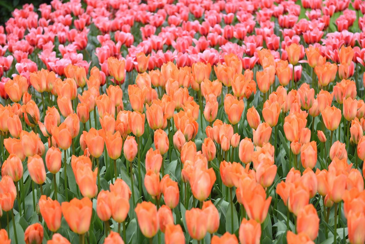 tulipany holenderskie