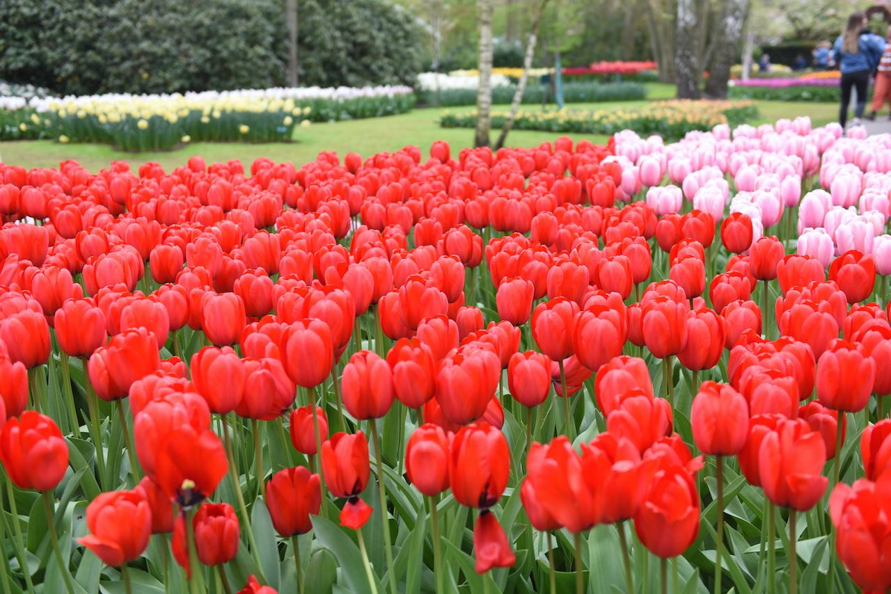 tulipany keukenhof holandia